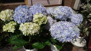 万華鏡紫陽花.JPG